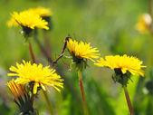 Mosquito crane-fly on flower — Stock Photo