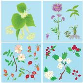 Set of officinal plants- linden, valerian, dog rose, hawthorn — Stock Vector