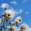 Stock Photo: White fuzzy wild flowers with flying seeds on blue sky background with light clouds