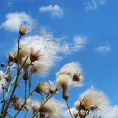 White fuzzy wild flowers with flying seeds on blue sky background with light clouds — Stock Photo