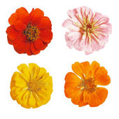 Set of four realistic colorful flowers of zinnia isolated on white background — Stock Vector