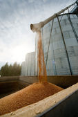 Loading grain — Stock Photo