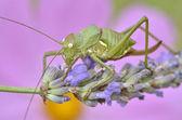 Grasshopper on lavender flower — Stock Photo