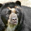 Portrait of Andean bear — Stock Photo