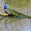 IndiPeafowl with tail in water — Stock Photo #12103899