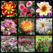 Dahlias mosaic — Stock Photo #12142117
