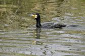 Great cormorant swimming water — Stock Photo