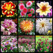 Dahlias mosaic — Stock Photo