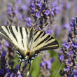 Scarce Swallowtail butterfly on lavender — Stock Photo #12225534