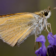 Stock Photo: Skipper butterfly on flower
