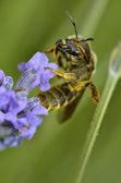 Bee gathering on flower — Stock Photo