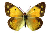 Isolated Colias butterfly — Stock Photo