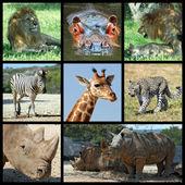 Multiple photos of giraffes — Stock Photo