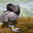 Eurasian coot on moss in France — Stock Photo