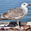 Closeup herring gull — Stock Photo