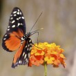 Tiger Longwing butterfly feeding on flower — Stock Photo