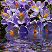 Crocus flowers above the water — Stock Photo