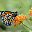 Monarch butterfly feeding on flower — Stock Photo #12468985