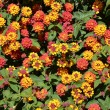 Backgropund of lantana flowers — Stock Photo