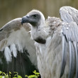 Stock Photo: White-backed Vulture with open wings