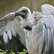 Zdjęcie stockowe: White-backed Vulture with open wings