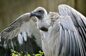 White-backed Vulture with open wings — Stock Photo
