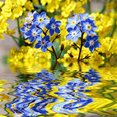Forget-me-not with reflection in water — Stock Photo