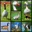 Mosaic photos of Canadgeese — Stock Photo #37138497
