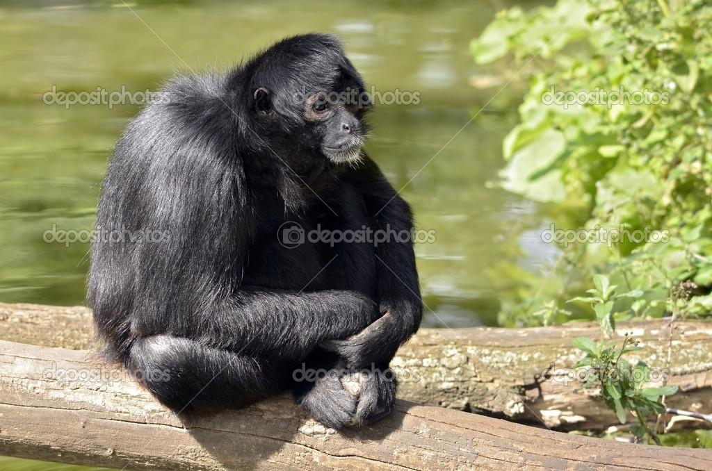 Monkey Ateles Fusci