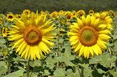 Closeup ayçiçeği — Stok fotoğraf