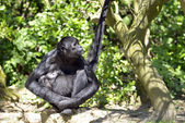 Black-headed spider monkey sitting on ground — Stock Photo
