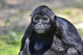 Portrait Black-headed spider monkey — Stock Photo