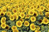 Sunflower field — Stock Photo