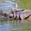 Постер, плакат: Indian rhinoceros in water