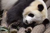 Portrait of giant panda — Stock Photo