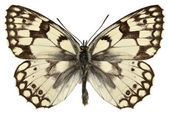 Isolated Esper's Marbled White butterfly — Stock Photo
