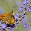 Stock Photo: Small skipper butterfly on lavender