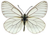 Isolated Black-veined White butterfly — Stock Photo