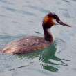 The Great Crested Grebe on water — Stock Photo #41106593