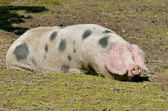 Sow of Bayeux lying on ground — Stock Photo