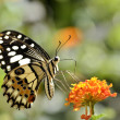 Lime butterfly feeding on flower — Stock Photo #41206693