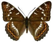 Isolated Poplar Admiral butterfly — Stock Photo