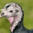 Portrait female turkey — Stock Photo #41211383