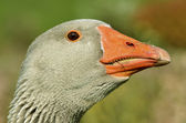 Portrait greylag goose — Stock Photo