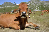 Tarine cow in the French Alps — Stock Photo