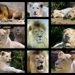 Photos mosaic of lions — Stock Photo