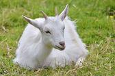 White goat lying on grass — Zdjęcie stockowe