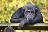 Portrait of chimpanzee — Stock Photo