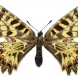 Stock Photo: Isolated Southern Festoon butterfly