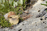 Snail of Burgundy in the french Alps — Stock Photo